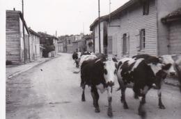 Foto Hirte Mit Kuhherde Auf Einer Dorfstraße -  Ca. 1940 - 8,5*5,5cm (44048) - Métiers
