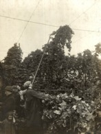 HOP PICKING  Hopfenanbaugebietes    15*11CM Fonds Victor FORBIN 1864-1947 - Profesiones