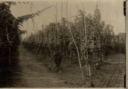 HOP PICKING KENT  Hopfenanbaugebietes    15*11CM Fonds Victor FORBIN 1864-1947 - Profesiones