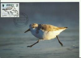 Carte Maximum - Oiseaux - Jersey -  Sanderling - Bécasseau Sanderling - Calidris Alba - Jersey