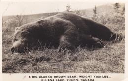 RP: Alaska Brown Bear, 1450 Lbs, Kluana Lake , YUKON , Canada , 20-30s - Hunting