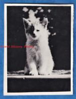 Photo Ancienne Snapshot - Portrait D'un Petit Chat / Chaton - Animal Pose Mignon Katze Cat - Photos