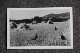 MONTANA - Lewistown, Pheasants - Etats-Unis