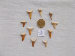 LOT DE DENTS DE REQUIN FOSSILE.GENRE CARQUEIRAS.ENVIRON 40 MILLIONS D'ANNEES.ETAGE LUTETIEN. - Fossils