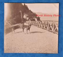 Photo Ancienne - Chèvre En Montant Au REVARD - Vers 1900 - Histoire Patrimoine Savoie Aix Les Bains Le Bourget - Photos