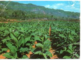 Cuba - Piantagione Di Tabacco - Sonstige