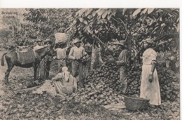 TRINIDAD BREAKING COCOA - Trinidad