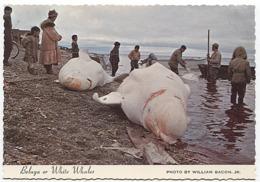 X122581 USA U. S. A.  AK ALASKA BELOUGA BELUGA OR WHITE WHALES ESQUIMAU ESQUIMAUX ESQUIMO ESQUIMOS HUNT RETOUR DE CHASSE - Etats-Unis