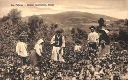 Las Palmas - Grapes Recollection, Monte (Bazar Aleman) - La Palma