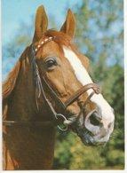 Tête De Cheval - Paard- Horse (Nr 8) - Chevaux