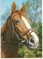 Tête De Cheval - Paard- Horse (Nr 8) - Horses