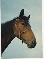 Tête De Cheval - Paard- Horse (Nr 16) - Chevaux