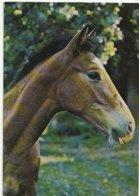 Tête De Cheval - Paard- Horse (Nr 17) - Horses