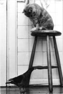 CHAT Sur Un Tabouret Regardant Un Pigeon - Très Rare - - Katten