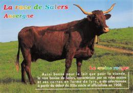 Auvergne (63) - La Race De Salers - Vache - France