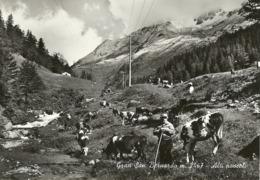 """5526 """"GRAN SAN BERNARDO M. 2467-ALTI PASCOLI""""ANIMATA-MUCCHE-CART. POST.NON SPED. - Italy"""