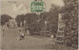 MEDAN, SUMATRA, KOFFIE OOGST, A.TH. DARRICARRERE, POLONIAWEG, MEDAN - Indonésie