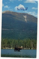 ETATS-UNIS : Mature Bull Moose In Baxter State Park Northern Maine  , Moutain In Back-ground - Etats-Unis
