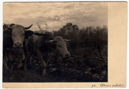 72 - ULTIMI SOLCHI - BUOI E MUCCHE - 1942 - Vedi Retro - Agricoltura
