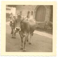 PHOTO - Boeuf Gris De Hongrie .8,2cm X 8,2cm. - Photos