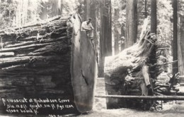 California Redwood Forest, Richardson Grove Giant Tree, C1940s Vintage Patterson #964 Real Photo Postcard - United States