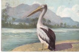 PELICAN - Birds