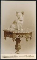 Cca 1875 Kiskutya, Keményhátú Fotó Jungmann & Schorn Banden-badeni Műterméből, Jó állapotban, 10×6 Cm / Little Dog, Vint - Other Collections