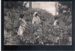 CEYLON  Plucking Tea Leaf Ca 1910 Old Postcard - Sri Lanka (Ceylon)