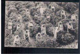 CEYLON  Tea Pluckers At Work Ca 1910 Old Postcard - Sri Lanka (Ceylon)