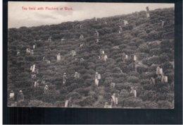 CEYLON  Tea Field With Pluckers Ca 1910 Old Postcard - Sri Lanka (Ceylon)