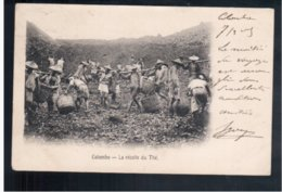 CEYLON  Colombo - Tea Plucking - Récolte Du Thé 1903 Old Postcard - Sri Lanka (Ceylon)