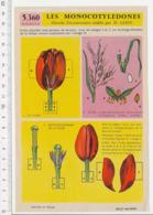 Image Papier Botanique Montage Diorama Tulipe Plante Fleur + Riz Céréale 226CH20 - Vieux Papiers