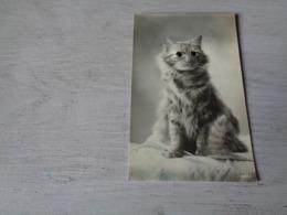 Chat ( 114 )  Kat  -  Avec Des Yeux En Verre - Chats