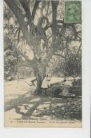 AFRIQUE - TUNISIE - TOZEUR - Tronc Du Jujubier Géant (arbre ) - Tunisia