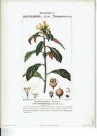 Reproduction De Lithographie -Botanica : Dicotiledoni - Pittospore -Pittosporo -Li1 - Reproductions