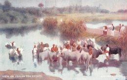 A-19-5433 : VIEW OF CEYLON TEA ESTATE.  LIPTON SERIES. - Sri Lanka (Ceylon)