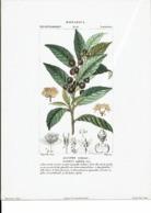 Reproduction De Lithographie -Botanica : Dicotiledoni - Alloro Comune-Laurier Nobilis -Li2 - Repro's