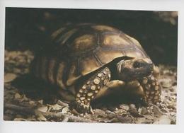Tortue Terrestre - A Cupulatta Centre élevage Et Protection De La Tortue) - Schildpadden