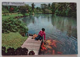 DAVAO CITY, INIGO FARM, PHILIPPINES - A Fishpond Of Large Fold-scaled Friendly Gurami Fishes - Vg - Filippine