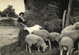 La Jolie Bergère Dpnnant A Manger Aux Brebis Et à La Chèvre RV - Crías