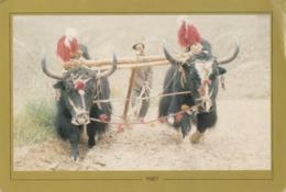 TIBET - Yaks Ploughing In Tibet - Tibet