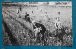 CPA - Carte Photo - FOTO Di E. Benigni - Bordighera - Récolte Des Fleurs (ouvriers) - Imperia