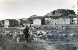 11 - Pouzols - Le Fort - Moutons Dans Les Vignes - (C'était Avant Le Glyphosate) - France