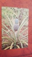Uganda. Pineapple  - Old Postcard - Oeganda