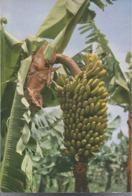 El Platano - Banano - H5775 - Culturas