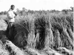 Photo Sénégal. Casamance Récolte De Sésame à Faoun Années 1990   Vivant Univers - Afrique