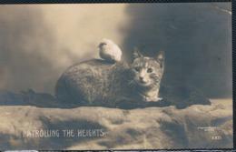 Chat Et Poussin- Cats-  Poes Met Kuiken -katzen -gatto - Katten