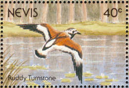 Nevis. 1991  . Tournepierre à Collier   Ruddy Turnstone - Vögel