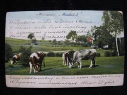 Village 1909 Pâturage Cows Post Office Samara Petersburg Vasilyevsky - Mucche