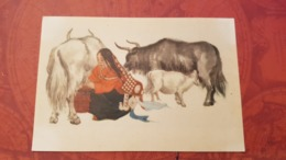 China. Tibet. Native People  - Young  Woman - Cow / Old Postcard 1950s - Tibet